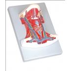 Anatomia do pescoço