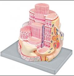 Esqueleto da fibra muscular