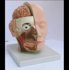 Dissecação da cabeça - 4 partes