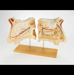 Nariz e orgão olfactório - 4x tam. real