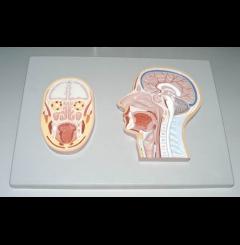 Secção mediana e frontal da cabeça