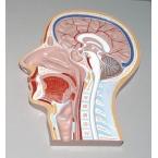 Secção mediana da cabeça
