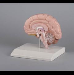 Metade do cérebro