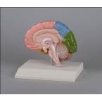 Metade das regiões do cérebro