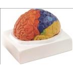 Regiões cerebrais - 2 partes