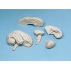 Cérebro mole - 8 partes