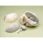 Crânio neurovascular