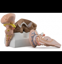 Tronco do cérebro, cerebelo e 4º ventrículo
