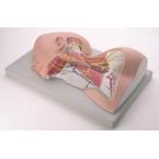Nervos e região do pescoço