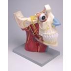 Nervos cranianos e autonómicos - 2 partes