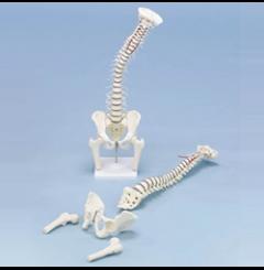 Coluna vertebral, pélvis e cabeça do fémur