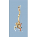 Coluna flexível, cabeça de fémur e inserção dos músculos