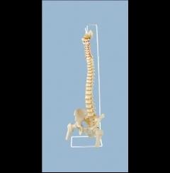 Coluna vertebral flexível c/cabeça de fémur