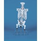 Coluna - demonstração de postura incorrecta, c/pélvis, cabeça do fémur e cx torácica