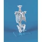 Coluna vertebral c/caixa torácica