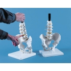 Coluna vertebral Dr. Laserow - modelo tactíl