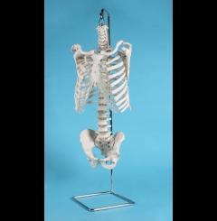 Esqueleto tronco humano