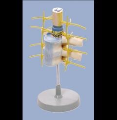 Vértebras torácicas c/medula espinal