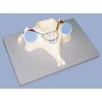 5ª Vértebra Cervical