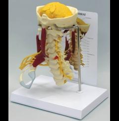Coluna cervical musculada