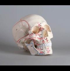 Modelo craniano - 3 partes - c/marcação músculos