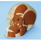 Crânio com musculatura