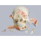 Crânio demonstrativo - 14 partes