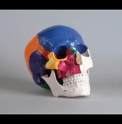 Crânio didáctico - 3 partes