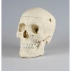 Crânio adulto masculino