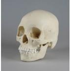 Crânio de adolescente feminino