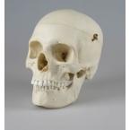 Crânio adulto feminino