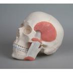 Crânio com músculos mastigatórios - 2 partes