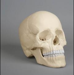Modelo craniano - 22 partes (versão anatómica crânio)