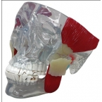 Modelo de articulação temporomandibular