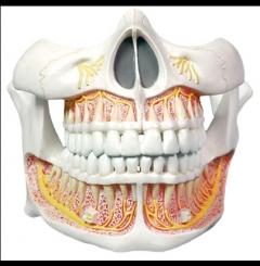 Modelo de dentição permanente