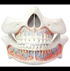 Modelo de dentes decíduos