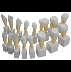 Modelo de dentes permanentes