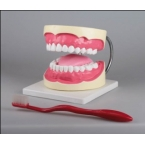 Modelo de higiene oral, 3x tam. real