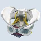 Pélvis feminina c/ligamentos, nervos e diafragma pélvico