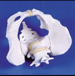 Pélvis masculina c/sacro e 2 vértebras lombares