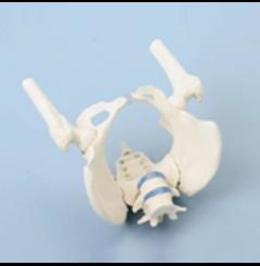 Pélvis feminina c/sacro, 2 vértebras lombares e cabeça do fémur