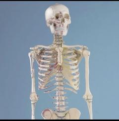 """Esqueleto """"Arnold"""""""