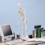 """Esqueleto """"Fred"""" - miniatura c/medula espinal e marcação músculos"""