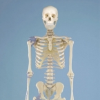 "Esqueleto ""Otto"""
