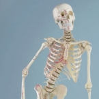 "Esqueleto ""Peter"""