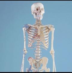 """Esqueleto """"Bert"""""""