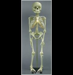 Esqueleto criança - 5 anos de idade