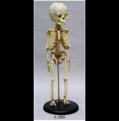 Esqueleto criança – 14 a 16 meses de idade