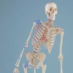 "Esqueleto ""Max"""