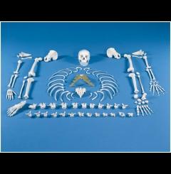 Esqueleto desmontado (colecção de ossos)